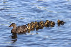 Swimming Together. A mother mallard duck swimming with her ducklings on a pond Stock Image