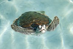 Swimming tortoise. In the ocean Royalty Free Stock Images