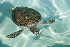 Swimming tortoise. In the ocean Stock Photos