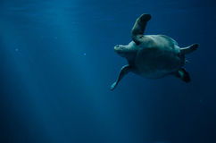 Swimming sea turtle underwater Stock Photography