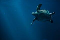 Swimming sea turtle underwater stock photography
