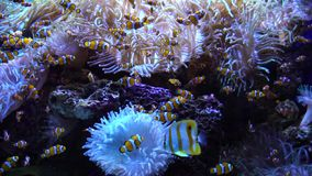 Swimming tropical fish. Swimming tropical coral reef fish with anemone flowers stock video footage