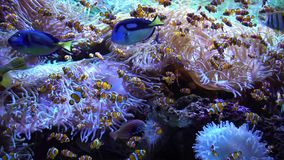 Swimming tropical fish. Swimming tropical coral fish with unserwater corals stock video footage