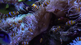 Swimming tropical fish. Swimming tropical coral fish with anemone flowers stock video