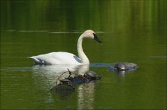 Swimming Trumpeter Swan With Painted Turtles Stock Photography