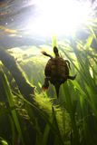 Swimming Turtle. A small turtle is swimming hard to make it to the surface royalty free stock image