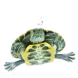 Swimming turtle Stock Photos
