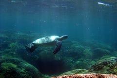 Swimming Turtle. A Green Sea Turtle Swims UnderWater in Hawaii Stock Photo