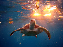 Swimming turtle Stock Images