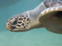 Swimming turtle. Turtle swimming underwater Stock Photography
