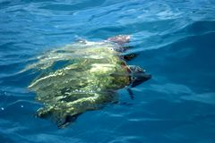 Swimming Turtle. Swimming Careta Careta turtle in the Inonian Sea royalty free stock photo