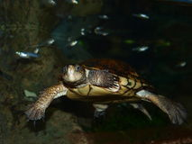 Swimming turtle Royalty Free Stock Images