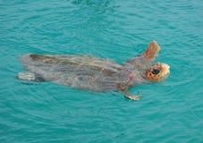 Swimming Turtle Stock Photos