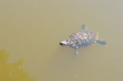 Swimming Turtle. A turtle swimming in a clear pond Stock Image