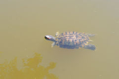 Swimming Turtle. A turtle swimming in a clear pond Stock Photography