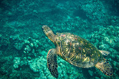 Swimming turtle reef Stock Photos