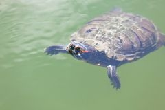 Swimming turtle in a pond water Royalty Free Stock Image