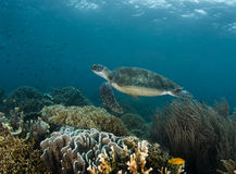 Swimming Turtle Reefscape Royalty Free Stock Photo