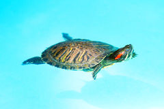 Swimming Turtle Royalty Free Stock Image