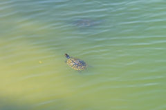 A swimming Turtle Royalty Free Stock Photos