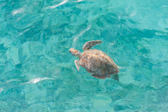 Swimming Turtle in Water. Miami Beach in Barbados Stock Photo