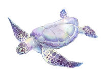 Swimming turtle watercolor illustration. Swimming turtle on white background hand painted watercolor illustration Stock Photos