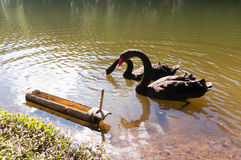 Swimming two black swans  Stock Photos