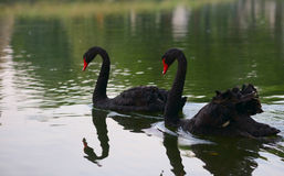 Swimming two black swans in a lake in spring Royalty Free Stock Photo
