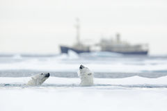 Swimming two polar bears. Fight of polar bears in water between drift ice with snow. Blurred cruise chip in background, Svalbard, Stock Images