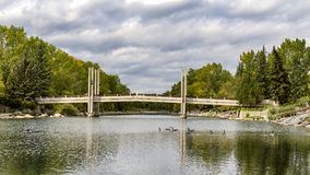 Swimming under the bridge. Some wild ducks are swimming in public park Royalty Free Stock Photo