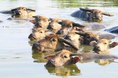 Swimming Water Buffaloes Stock Image
