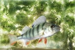 Swimming in water perch royalty free stock photos