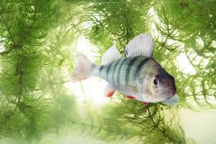Swimming in water perch Stock Photography