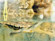 Turtle under the water. stock photos