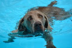 Dog swimming - Weimaraner. Front view of a purebred Weimaraner dog swimming in a swimming-pool Stock Photo