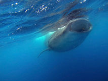 Swimming with Whale Sharks Stock Photo