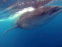 Swimming with Whale Sharks Stock Images