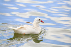 Swimming white duck on sunny day Stock Photography