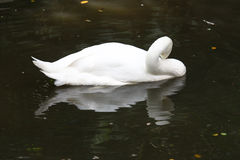 Swimming white goose and its reflection in the water Stock Photo