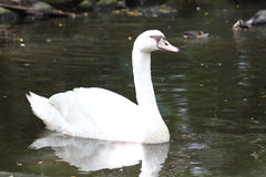 Swimming white goose in the water. Swimming white goose and its reflection in the water at zoo stock image