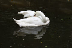 Swimming white goose in the water. Zoo royalty free stock photography