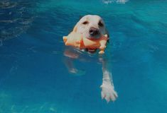 Swimming White Labrador with the piggy toy in her mounth Stock Photo