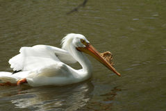 Swimming white pelican Royalty Free Stock Photography