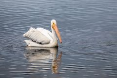 Swimming White Pelican - Sanibel Island, Florida. An American white pelican, Pelecanus erythrorhynchos, swims on a pond in Ding Darling National Wildlife Refuge royalty free stock photos