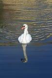 Swimming White Swan Stock Photography