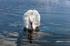Swimming white swan. With swan reflection on a water Royalty Free Stock Image