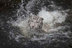 Swimming white tiger Royalty Free Stock Photography