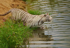 Swimming white tiger. Shoot in Mount Kenya National Park, a white tiger was about to swim cross a river Royalty Free Stock Images