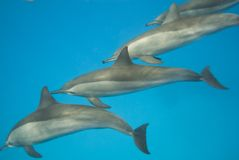 Swimming Wild Spinner Dolphins. Royalty Free Stock Images