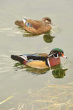 Swimming wood ducks. Wood ducks in Norh America Stock Image